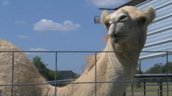 Woman Bites 600-Pound Camel's Testicles to Escape Attack