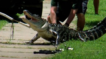 Gator Attack Victim Loses Finger, Toe
