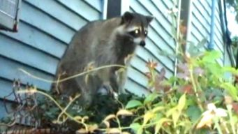 Demolition Targets Aggressive Raccoons