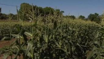 Produce Pete: New Jersey Corn