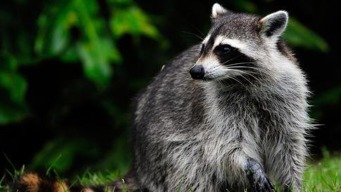 NYC Raccoons to Be Trapped and Vaccinated Amid Rabies Scare
