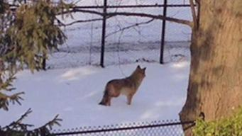 Some Fearful After Coyote Sightings in Yonkers