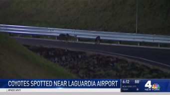 Family of Coyotes Spotted Near LaGuardia Airport