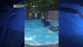 Bear Swims in NJ Family's Pool