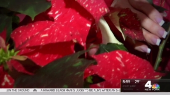Produce Pete: Picking the Perfect Holiday Poinsettias