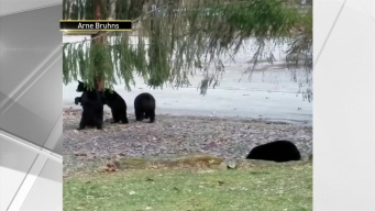Bears Wake Up From Hibernating, Play in NJ Yard