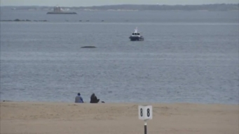 Whale Stranded in Orchard Beach