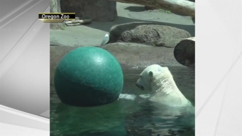 Polar Bear Has Pool Party With a Ball