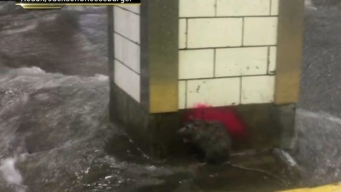 Rat Holds On Amid Rushing Floodwaters in Subway