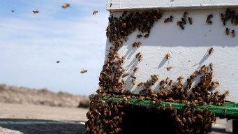 Montana Beekeeper Stung by Beehive Thieves in California
