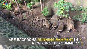 Raccoons Take Over Central Park, Eat Cookies