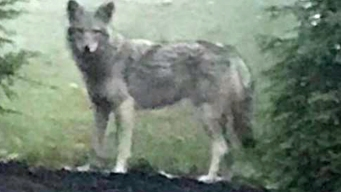 Beware the Coywolf: Cops Warn of Hybrid Critter in NY Suburb