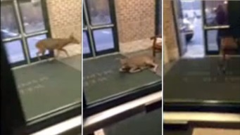 Deer Caught on Camera Tromping Through New Jersey School