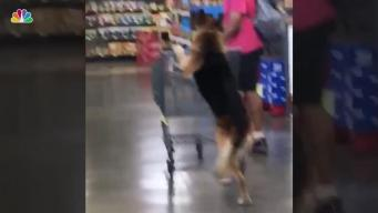 Viral Dog on Hind Legs Pushes Trolley at Supermarket