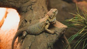 Stolen Upper West Side Lizard Returned to Rightful Owner