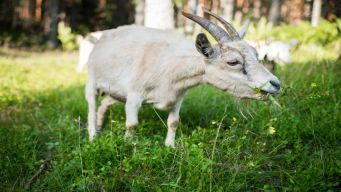 Goats Are Coming to Snack on a Manhattan Park This Summer