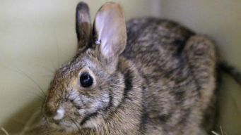 Brooklyn Woman Found Guilty of Abusing 100 Rabbits