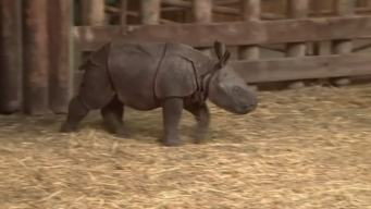 Rare Indian Rhinoceros Born