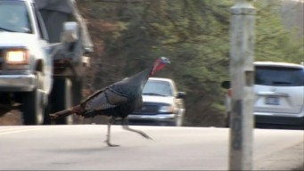 Fearless Turkey Stands Its Ground, Becomes Local Celeb