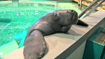 Manatee Snooty Turns 68