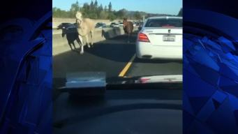 Loose Horses on California Highway