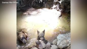Bear and Cub Take Dip to Cool Off