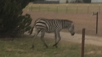 Zebra Reunited with Tx. Owner After Running Free