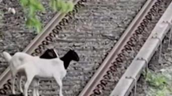 2 Goats in Custody After Romp on NYC Subway Tracks
