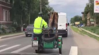 Bear Rides in Motorcycle Sidecar on Public Street