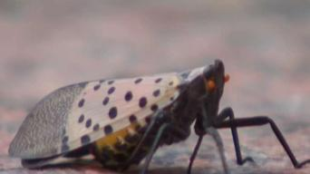 Spotted Lanternfly Forces NYC Cargo Ship Quarantine