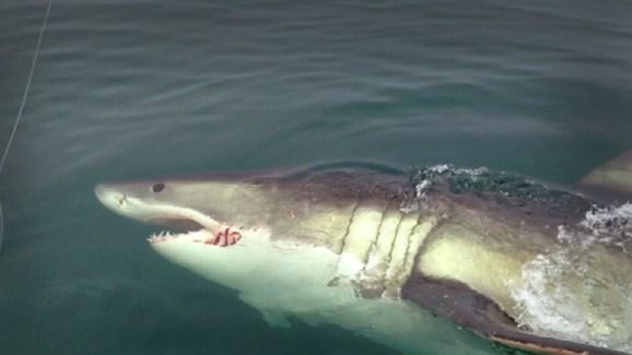 Great white shark sighting off nj nbc new york great white shark sighting off nj publicscrutiny Gallery
