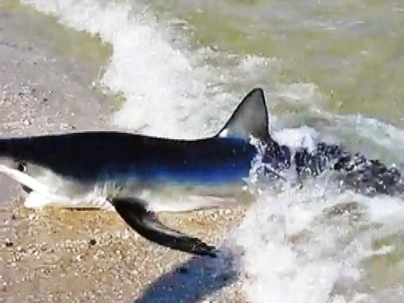 Huge sand shark spotted at jersey shore nbc new york huge sand shark spotted at jersey shore publicscrutiny Image collections