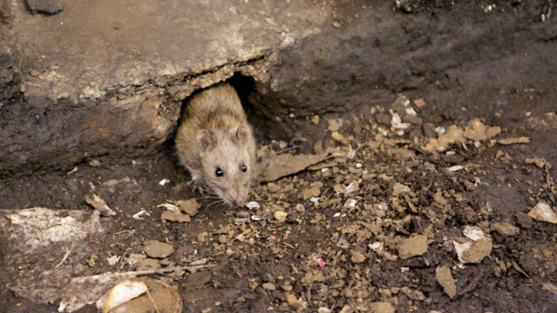 [NY] NYC Rats Carry Large Number of Pathogens: Study