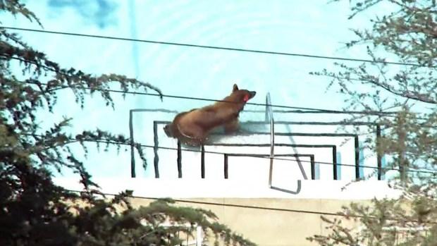 [LA] Bear Takes Dip in Pool