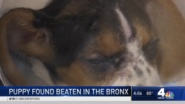 Beagle Puppy Badly Beaten Outside Shop