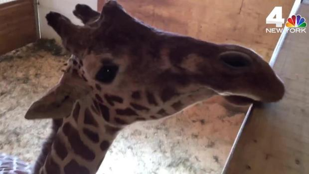 Behind the Scenes With April the Giraffe as Birth Looms