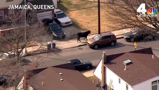 Rogue Bull at Center of Wild Queens Chase Dies Hours After Capture: NYPD