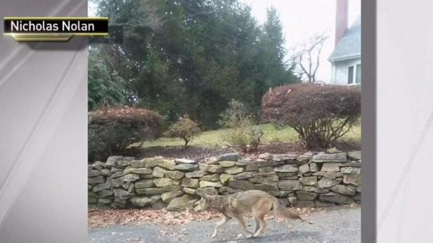 [NY] Coyotes Attack Half Dozen People in Westchester County
