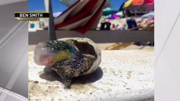 [NY] Deadly Jellyfish Makes Appearance on Jersey Shore Beach