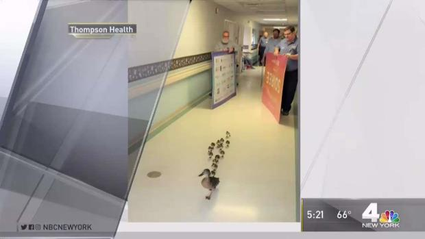 [NY] Duck Walks Her Ducklings Through NY Senior Center