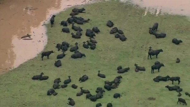 [NATL-DFW] Aerial Footage Shows Livestock Stranded in Texas Flooding