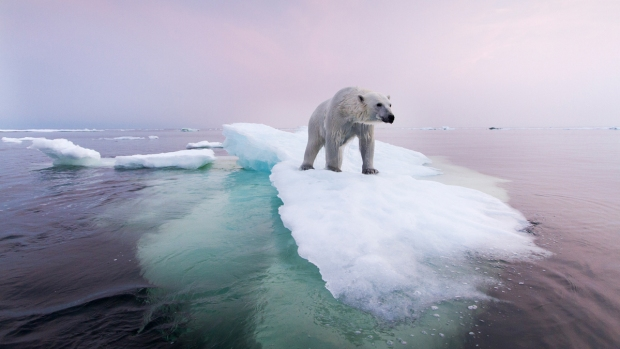 [NATL] As Paris Climate Talks End, a Look at Polar Bears in Their Natural Habitat