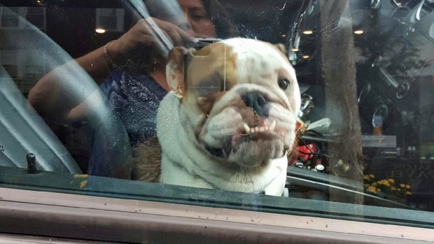 Cop Rescues Bulldog Left in Hot SUV