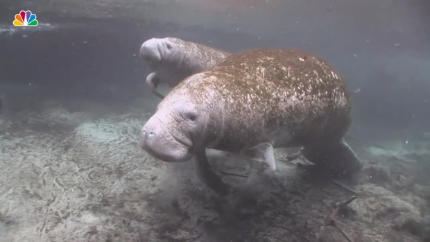 [NATL] Manatee Deaths on Track to Reach Record High
