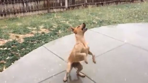 Excited Dog Tries to Catch Snowflakes in Colorado Snowfall