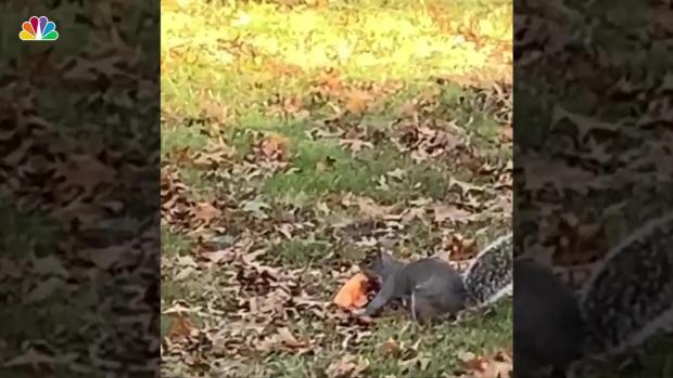 [NY] NJ Squirrel Runs Off With Half a Slice of Pizza, Video Shows