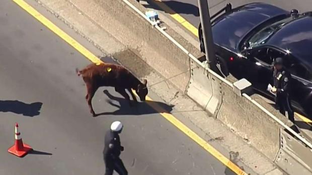 Runaway Cow Wreaks Traffic Havoc on NYC Highway