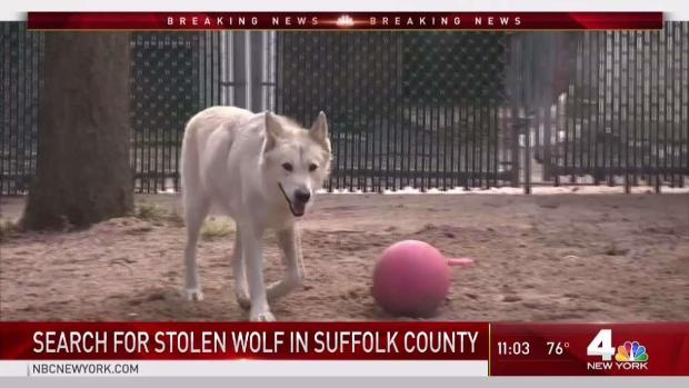 [NY] Search for Stolen Wolf in Suffolk County