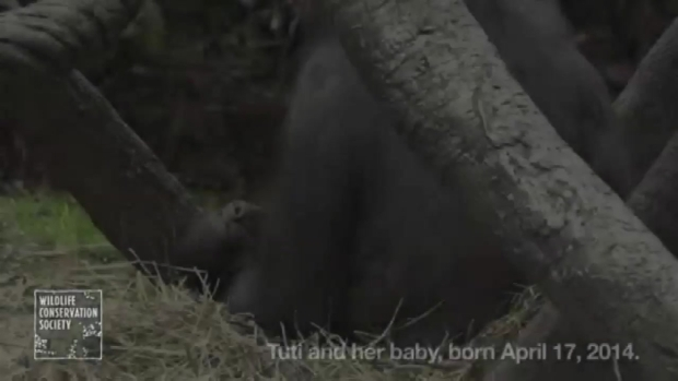 [NY] WATCH: Mother Julia and Her Newborn Gorilla at the Bronx Zoo