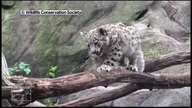 [NY] WATCH: Adorable Snow Leopard Cubs at Bronx Zoo
